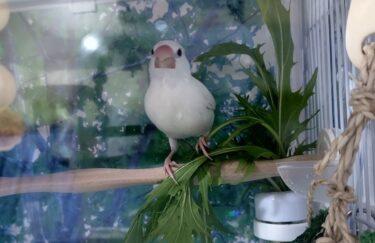 文鳥は青菜が好き