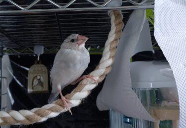 文鳥、荒鳥の放鳥はやっぱり戻らない【放鳥8回目】