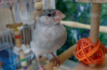 文鳥、荒鳥がシードからペレットに切り換えた記録