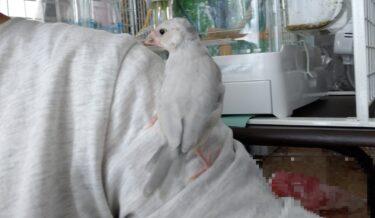 文鳥、荒鳥の放鳥、ケージに戻す方法【放鳥3回目】